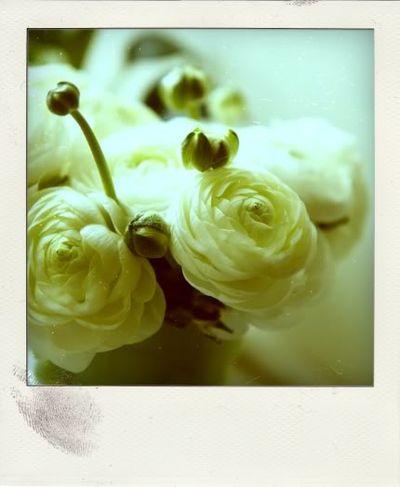 Ranunculus_pola_s
