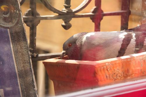 Nid-de-pigeon-5