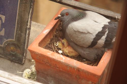 Pigeon-bebe