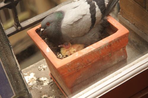 Bebe-pigeon